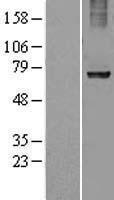 NBL1-15550 - Ribophorin I Lysate