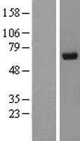 NBL1-15551 - Ribophorin II Lysate