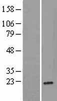 NBL1-15517 - Ribosomal protein L26 Lysate