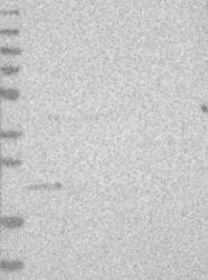 NBP1-80834 - C1orf103