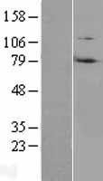 NBL1-15443 - Ring finger protein 214 Lysate