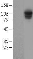 NBL1-14894 - Rpn2 Lysate