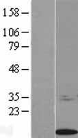 NBL1-15652 - S100 calcium binding protein A14 Lysate