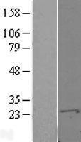 NBL1-15648 - S100A10 Lysate