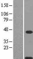 NBL1-15649 - S100A11 Lysate