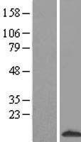 NBL1-15655 - S100A3 Lysate