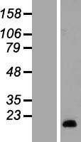 NBL1-15672 - SAA2 Lysate