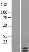 NBL1-15673 - SAA4 Lysate