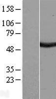 NBL1-15674 - SAAL1 Lysate