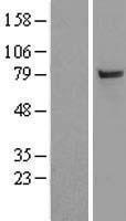 NBL1-17496 - SAE2 Lysate