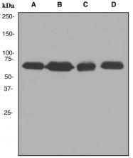 NBP1-95346 - SAM68 / KHDRBS1