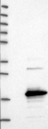 NBP1-81927 - SAMD12