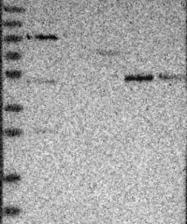 NBP1-88731 - SAMD3