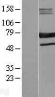 NBL1-15682 - SAMHD1 Lysate