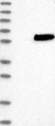 NBP1-82598 - SAMSN1