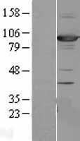 NBL1-09910 - SAP102 Lysate