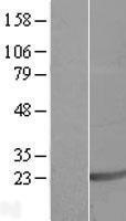 NBL1-15685 - SAP18 Lysate