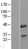 NBL1-15686 - SAP30BP Lysate