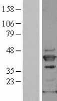 NBL1-12872 - SAPK4 Lysate