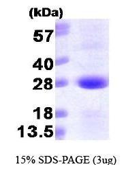 NBP1-30177 - SAR1A