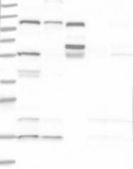 NBP1-89022 - SART1