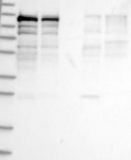 NBP1-89023 - SART1