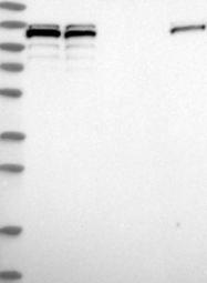 NBP1-89024 - SART1