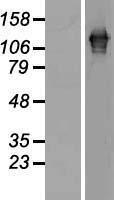 NBL1-15696 - SART3 Lysate