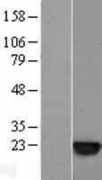 NBL1-15698 - SAT1 Lysate
