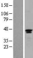 NBL1-15703 - SAV1 Lysate