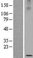 NBL1-13393 - SBEM Lysate