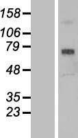 NBL1-15719 - SCARA3 Lysate