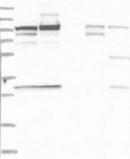 NBP1-83140 - SCARF2