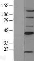 NBL1-15724 - SCD Lysate