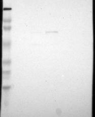 NBP1-88418 - SCFD1