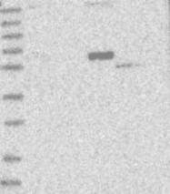 NBP1-81925 - SCFD2