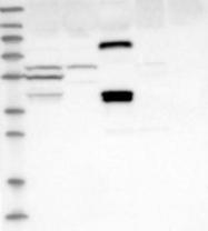 NBP1-85909 - SCML1