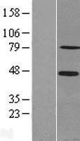 NBL1-15740 - SCML2 Lysate
