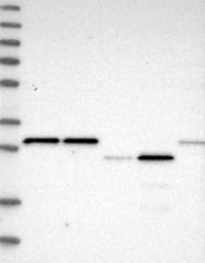 NBP1-87073 - SCO1 / SCOD1