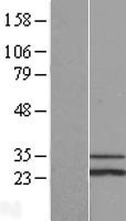NBL1-15747 - SCO1 Lysate
