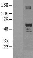 NBL1-14019 - SCOT2 Lysate