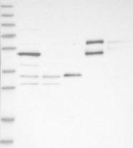 NBP1-85958 - SYCP2 / SCP2