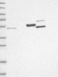 NBP1-89514 - SYCP2 / SCP2