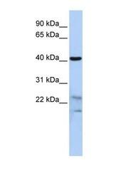 NBP1-56896 - Secernin-2 (SCRN2)