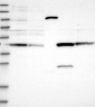 NBP1-85994 - Secernin-2 (SCRN2)