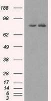 NBP1-47956 - SCYL3 / PACE1