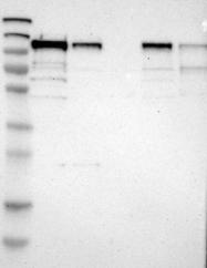 NBP1-83365 - SCYL1