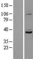 NBL1-16596 - SDS3 Lysate