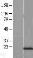 NBL1-15773 - SEC11C Lysate