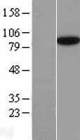 NBL1-15778 - SEC23B Lysate